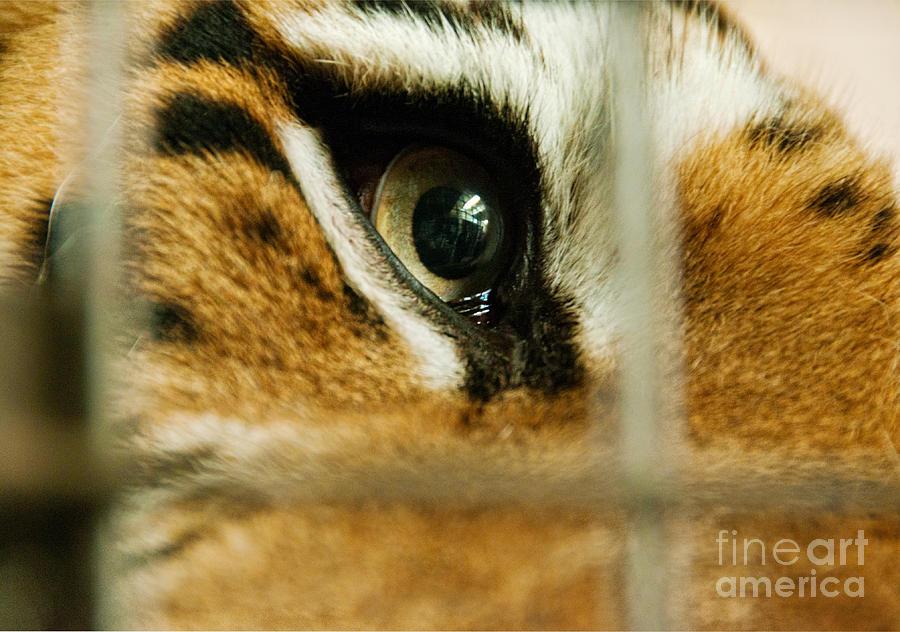 Prison Photograph - Tiger Behind Bars by Melody Watson