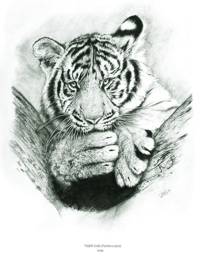 Tiger Drawing - Tiger Cub by Chamindra De Silva A