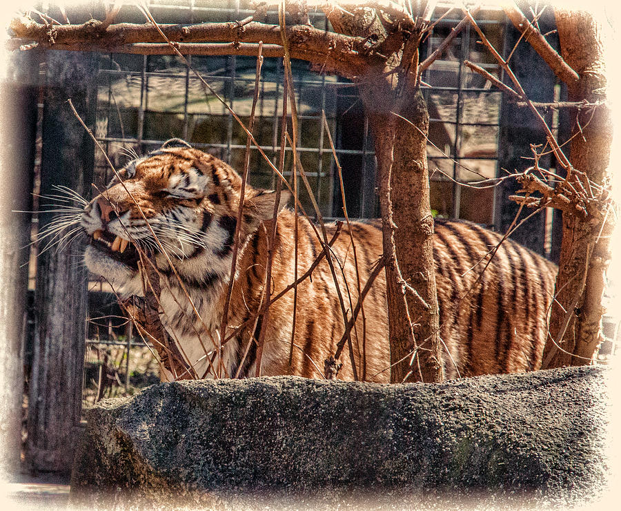 Tiger in a cage photograph by melvin busch - Tiger in cage images ...