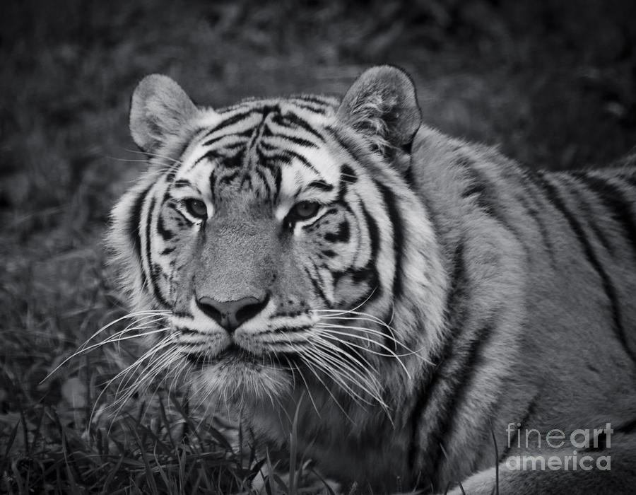 Black And White Photograph - Tiger In The Grass by Darcy Michaelchuk