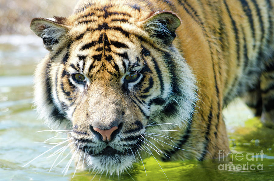 Tiger Photograph - Tiger In The Water by Steev Stamford