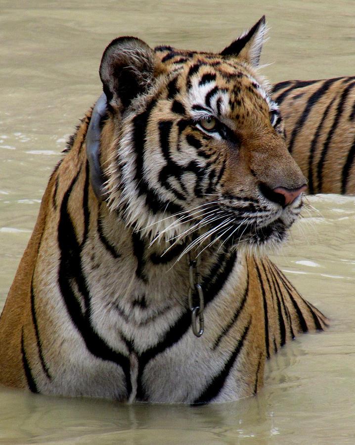 Tiger Photograph - Tiger In Water by Leena Kewlani
