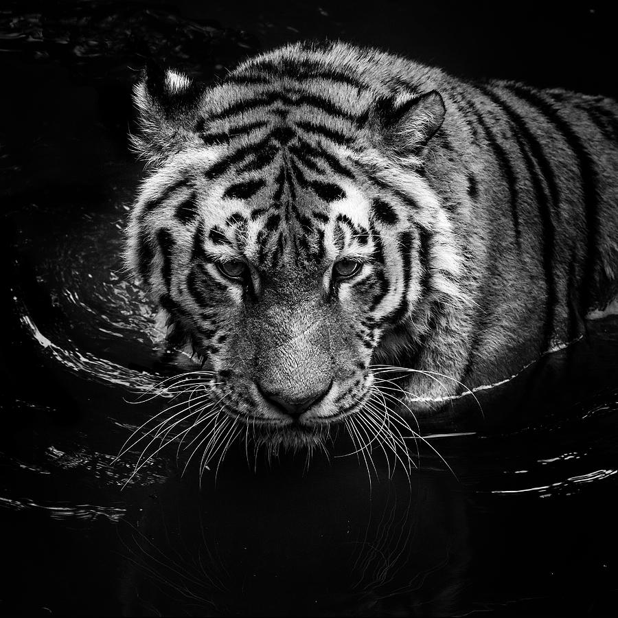 Tiger Photograph - Tiger in water by Lukas Holas