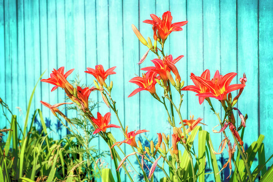 Tiger Lily Photograph - Tiger Lily And Rustic Blue Wood by John Williams