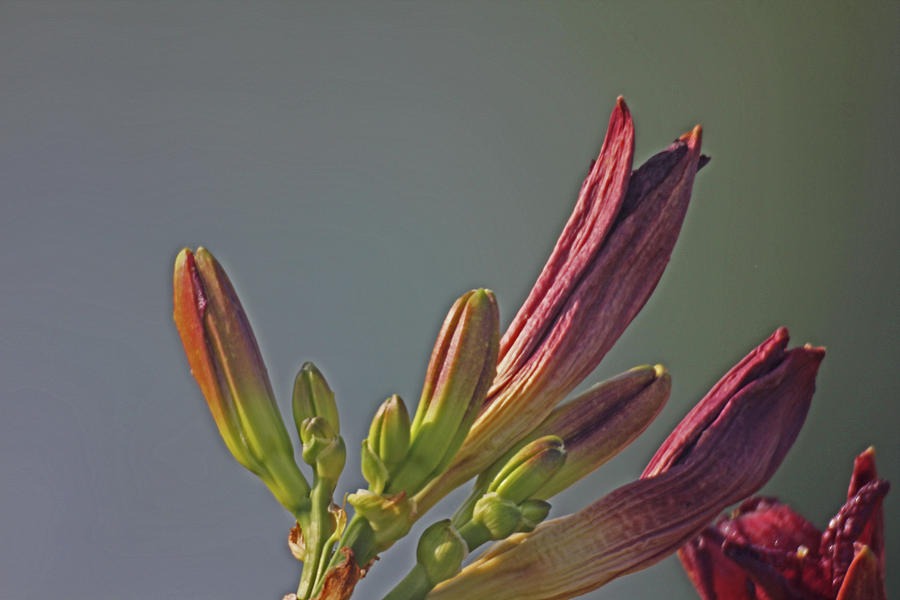 Tiger Lilly Buds 2 7172017  Photograph by David Frederick