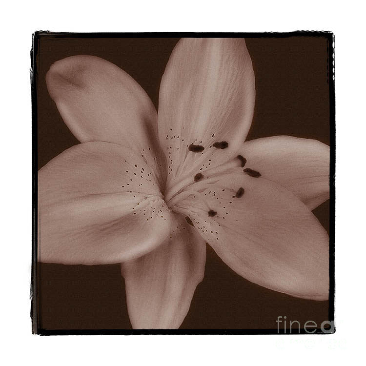 Lily Photograph - Tiger Lily 8 by K Randall Wilcox