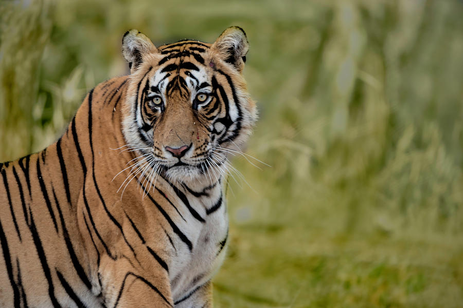 Tiger Photograph - Tiger Look by Pravine Chester
