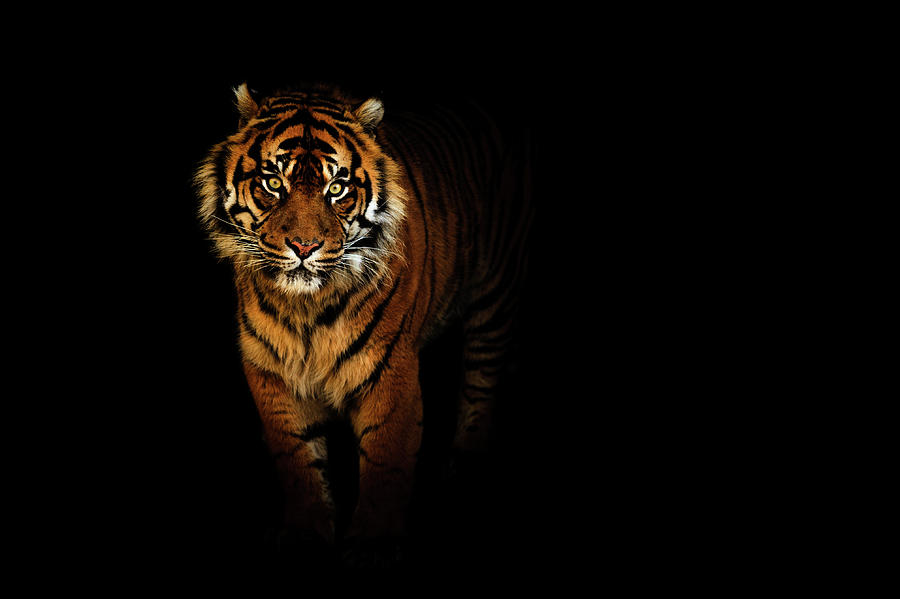 tiger on a black background photograph by tim abeln