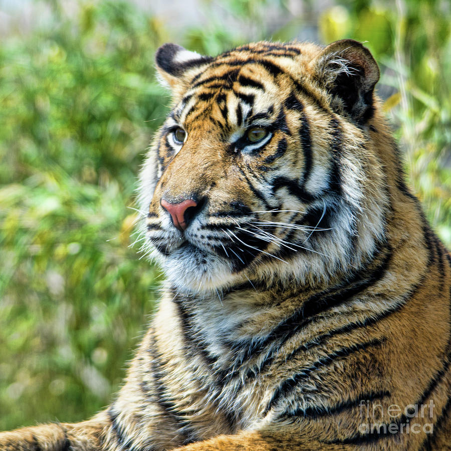 Tiger Photograph - Tiger On Guard by Steev Stamford
