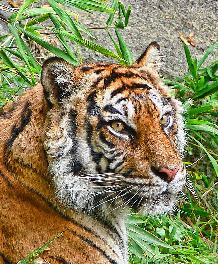 Tiger Photograph - Tiger Portrait by Jennie Marie Schell