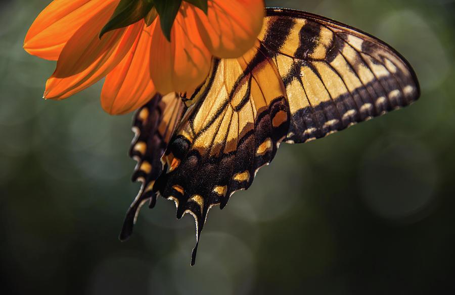 Butterflies Photograph - Tiger Swallowtail - 2 by Becky Portwood