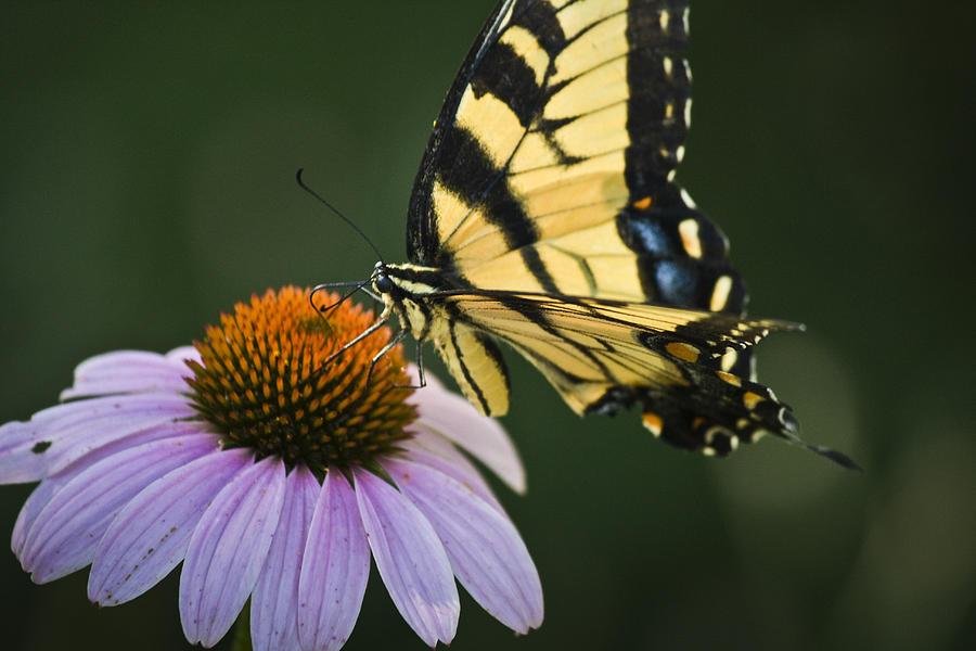 Garden Photograph - Tiger Swallowtail 2 by Teresa Mucha