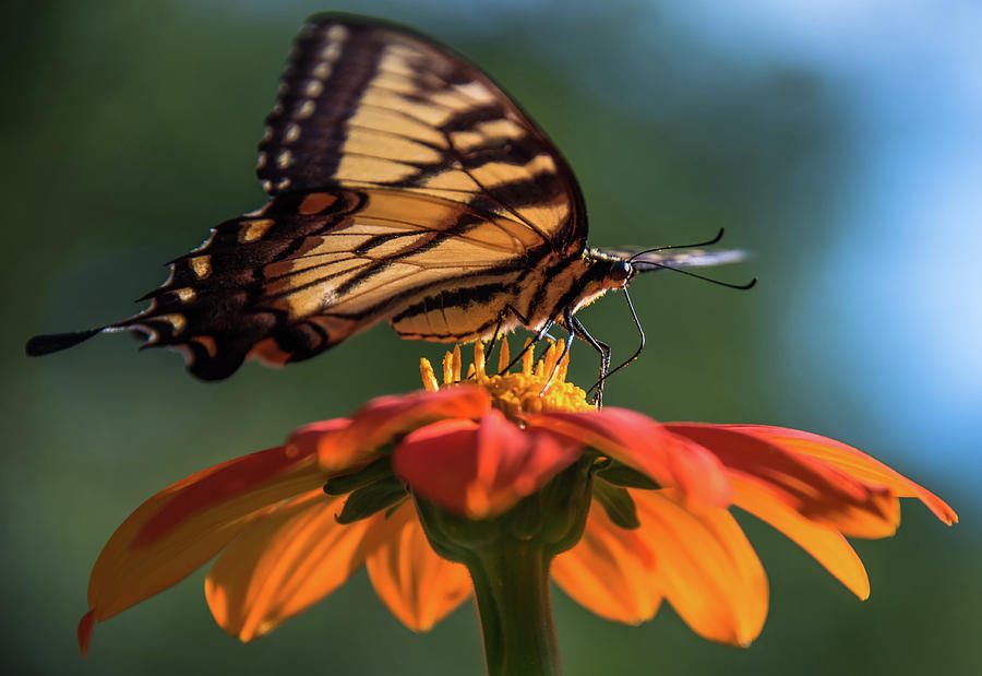 Butterflies Photograph - Tiger Swallowtail - 3 by Becky Portwood