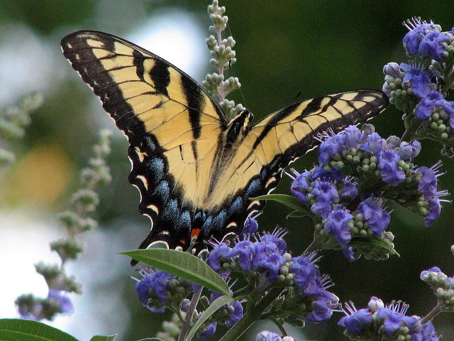 Tiger Swallowtail Photograph - Tiger Swallowtail 3 by J M Farris Photography