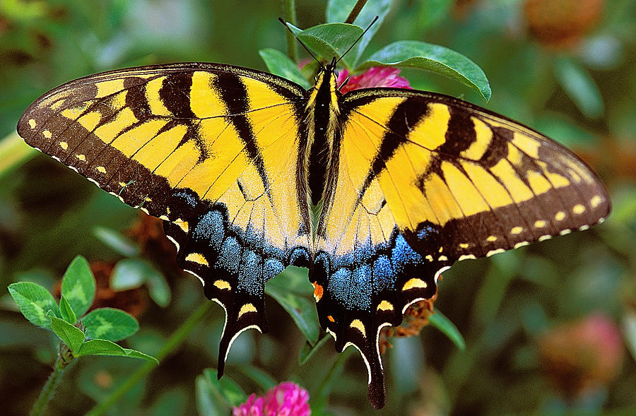 Tiger Swallowtail Photograph - Tiger Swallowtail by Alan Lenk