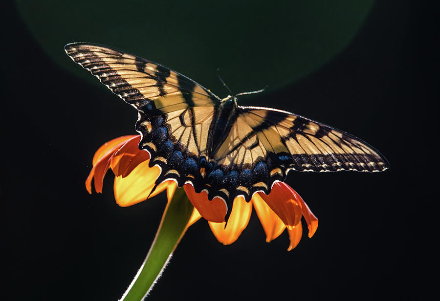 Butterflies Photograph - Tiger Swallowtail by Becky Portwood
