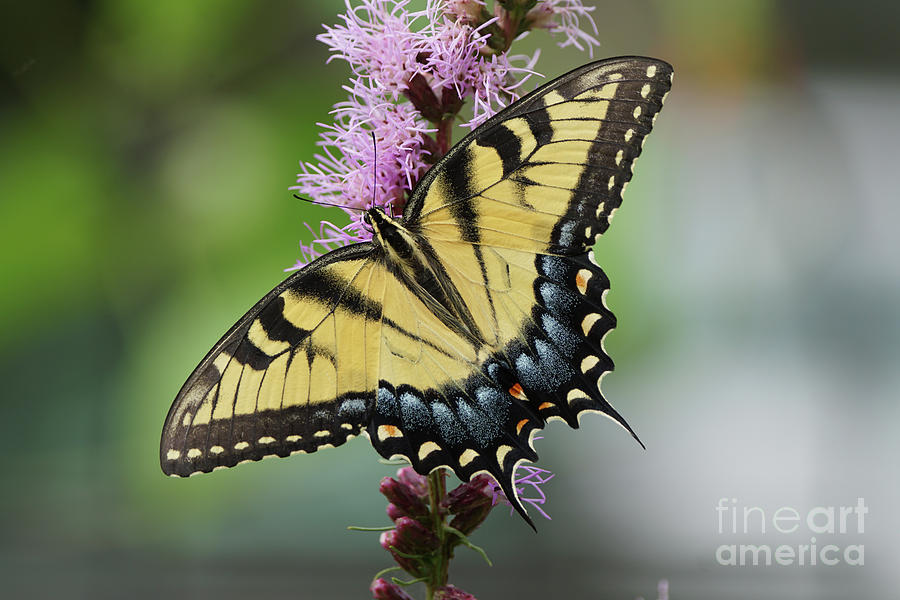 Tiger Swallowtail Butterfly 01240 by Robert E Alter Reflections of Infinity