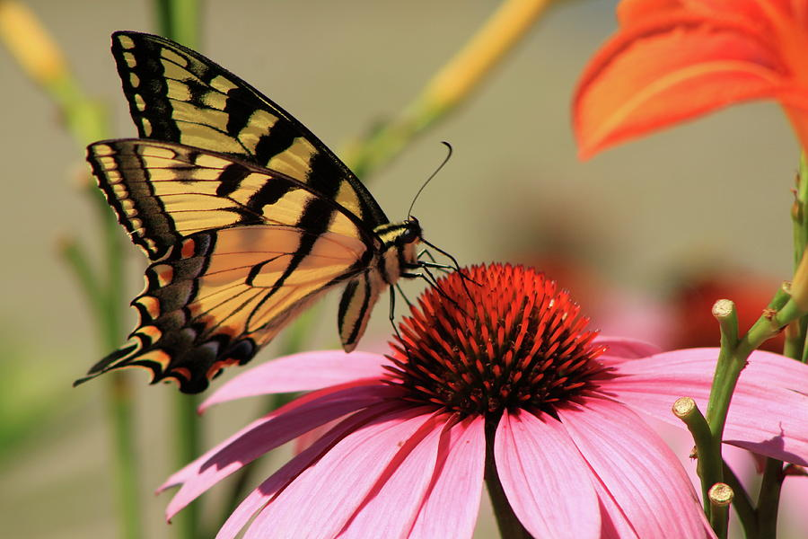 Wildlife Photograph - Tiger Swallowtail Butterfly Coneflower by John Burk