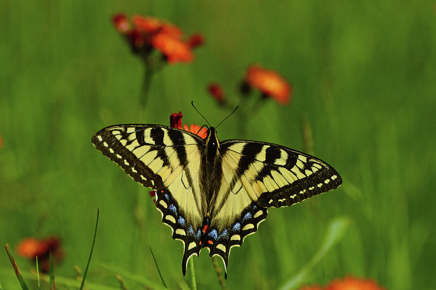 Tiger Photograph - Tiger Swallowtail Butterfly by Nancy Landry