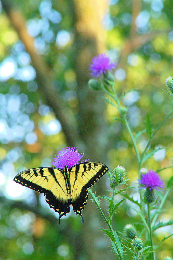 Butterfly Photograph - Tiger Swallowtail Butterfly by Robert  Suits Jr