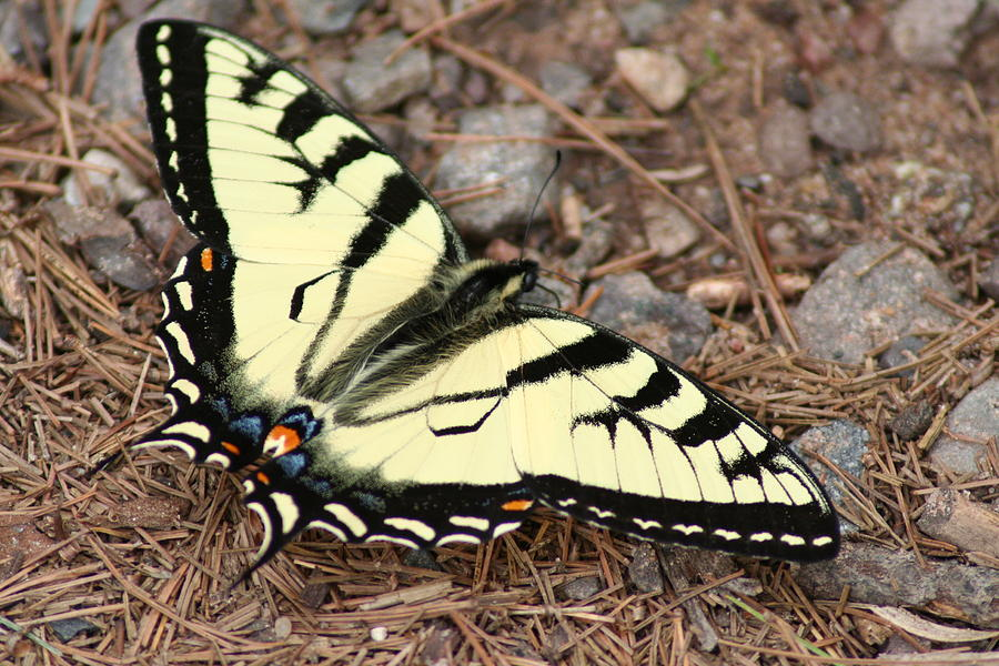 Tiger Photograph - Tiger Swallowtail by Jeff VanDyke