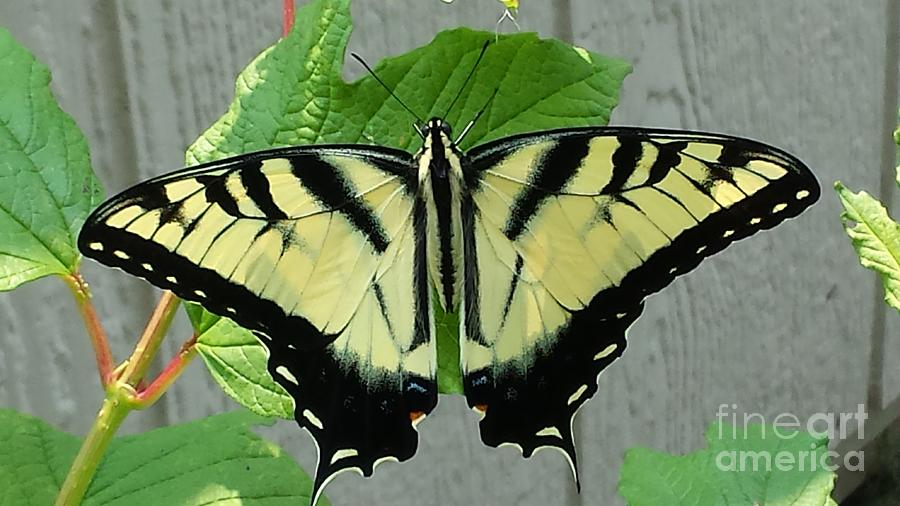 Butterfly Painting - Tiger Swallowtail by LeRoy Jesfield