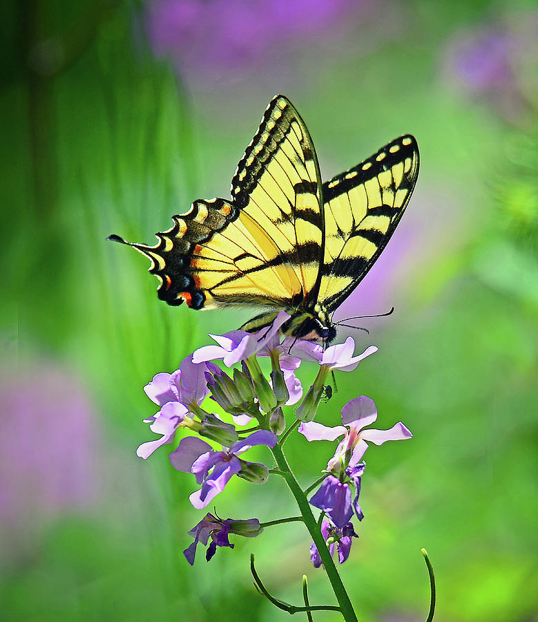 Tiger Swallowtail by Rodney Campbell