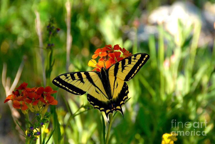 Tiger Tail Butterfly Photograph - Tiger Tail Beauty by David Lee Thompson