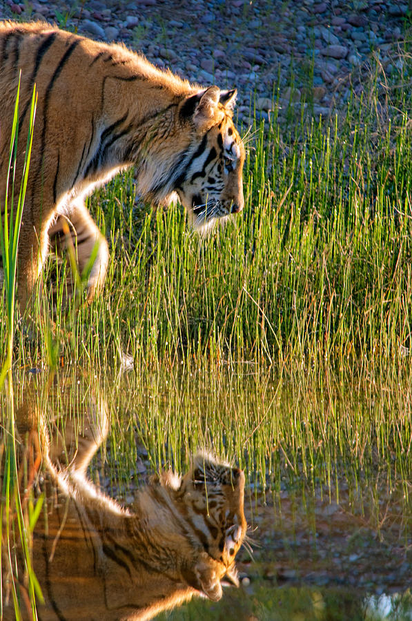 Tiger Tiger Burning Bright Photograph by Melody Watson