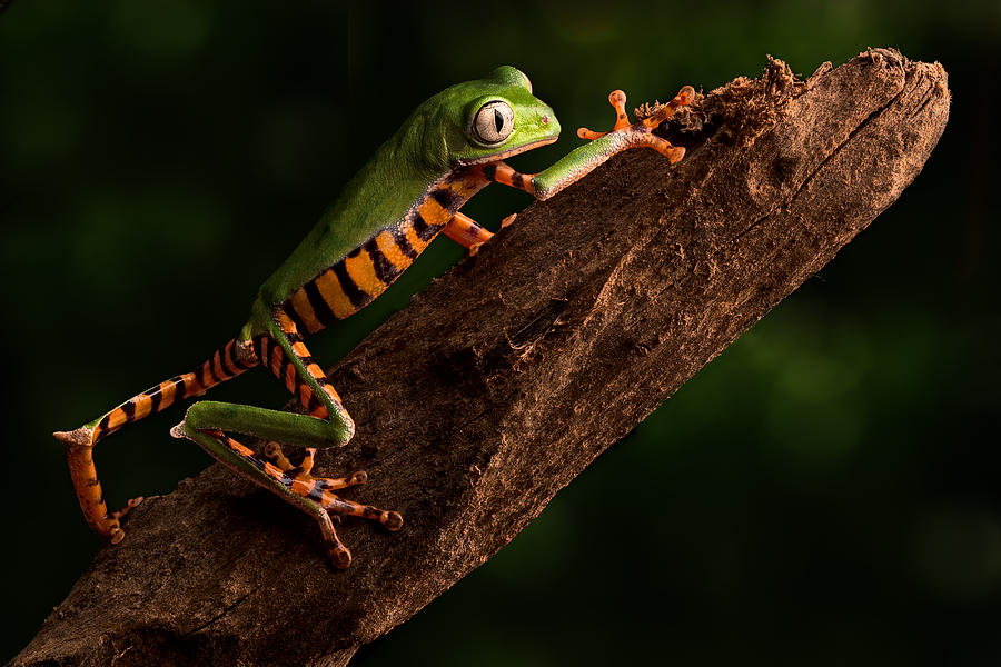 Tiger Tree Frog Climbing Photograph by Dirk Ercken