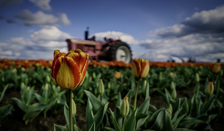 Tulip Photograph - Tiger Tulip by Ryan Smith