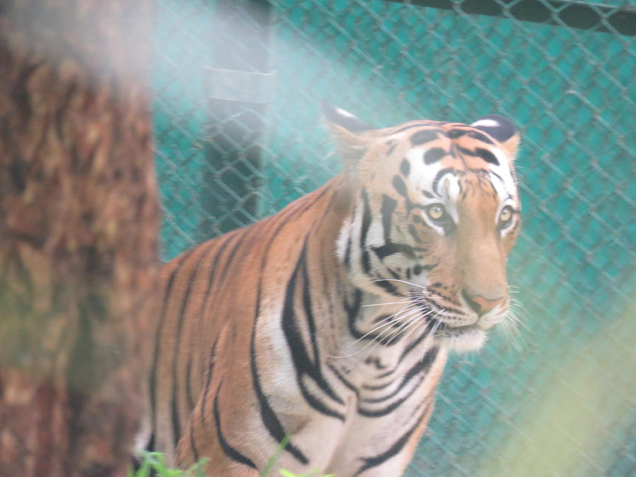 Royal Photograph - Tiger by Utpal Datta