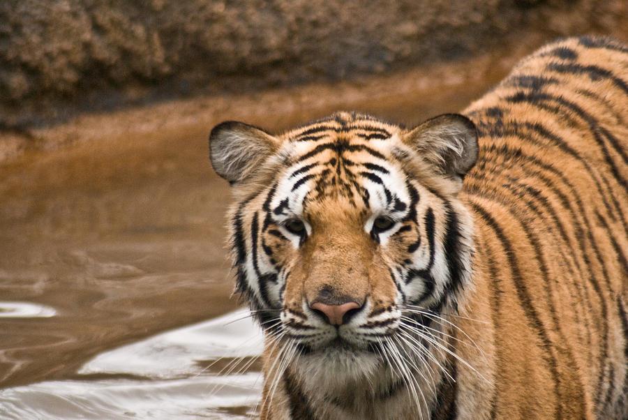 Tiger Photograph - Tiger Wading Stream by Douglas Barnett