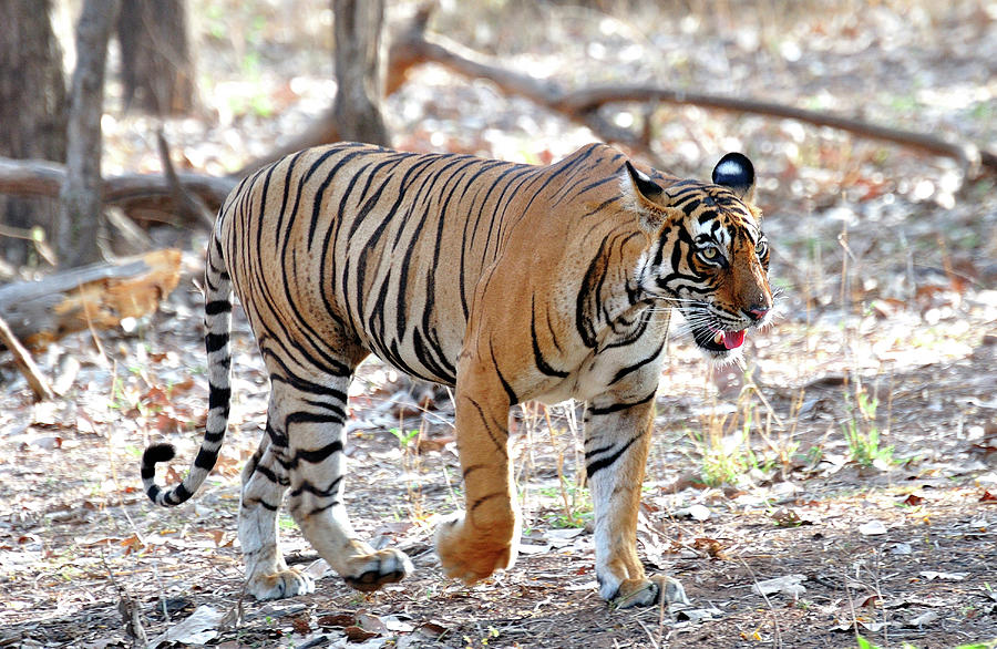 Tiger Photograph - Tiger Walk  by Manjot Singh Sachdeva