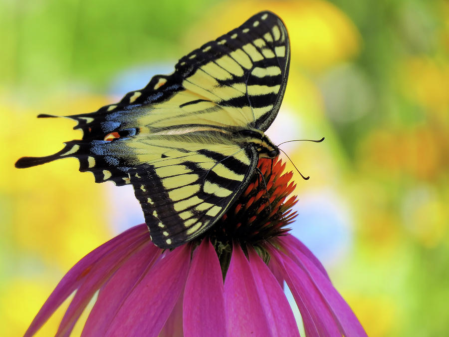 Tiger Wings 2 - Butterfly by MTBobbins Photography
