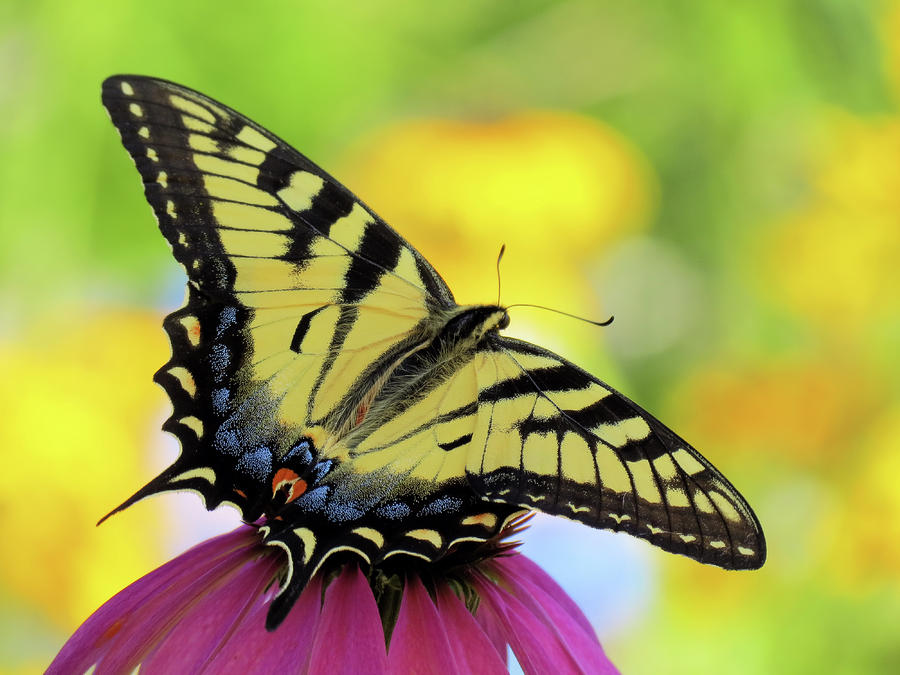 Tiger Wings - Butterfly by MTBobbins Photography