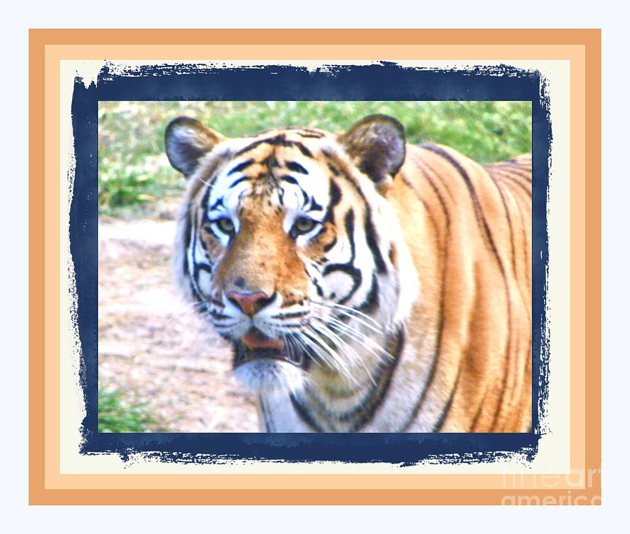 Tiger With Border Photograph by Shirley Moravec