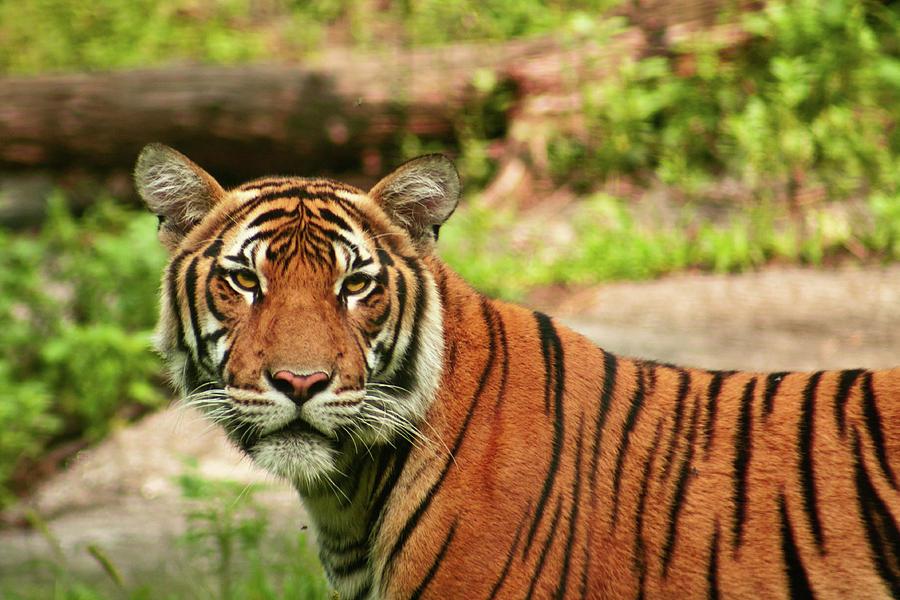 Tiger Photograph - Tiger  by Zev Steinhardt