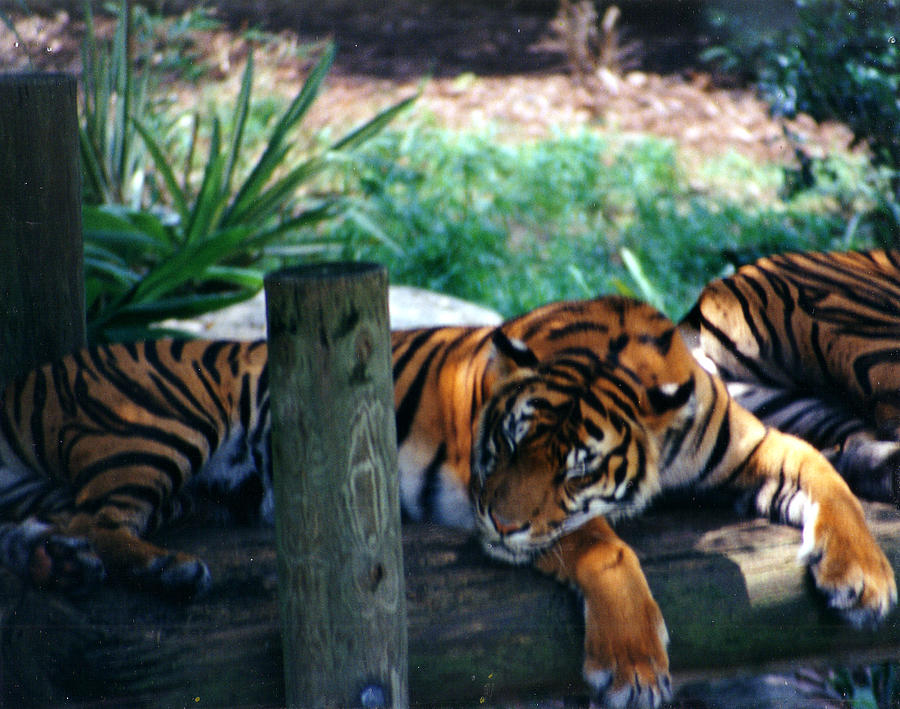 Tiger Photograph - Tigers Sleeping by Steve  Heit