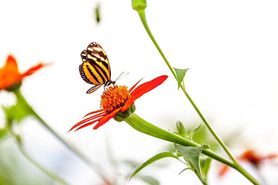 Butterfly Photograph - tigerwing at plus 1EV by Edward Kreis