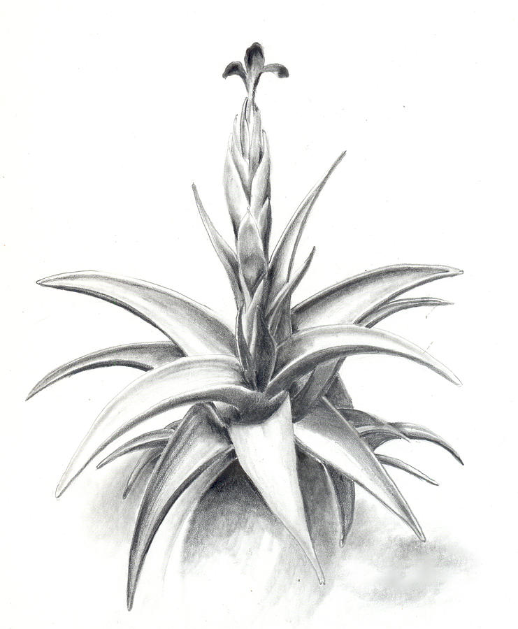 Airplant Drawing - Tillandsia Colganii by Penrith Goff