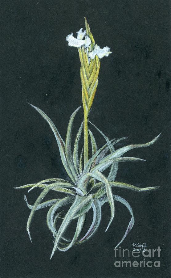 Tillandsia diaguitensis by Penrith Goff