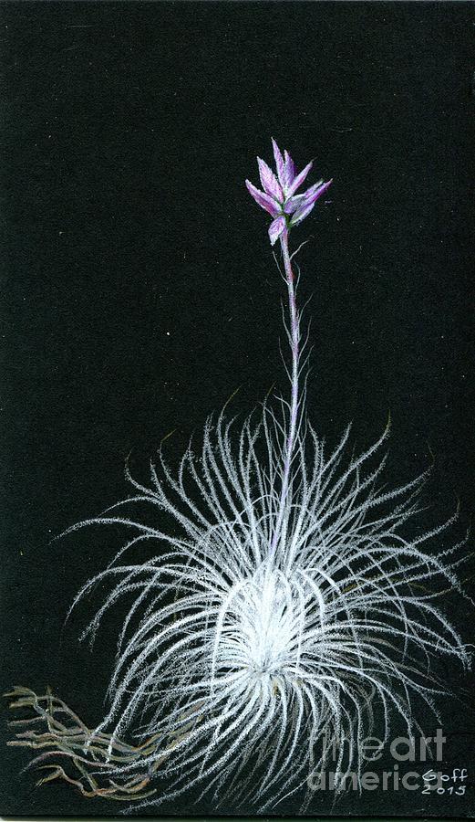 Tillandsia tectorum by Penrith Goff
