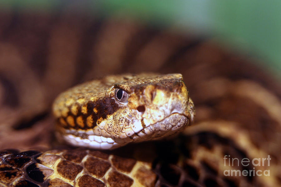 Animal Photograph - Timber Rattler Coil by Alan Look