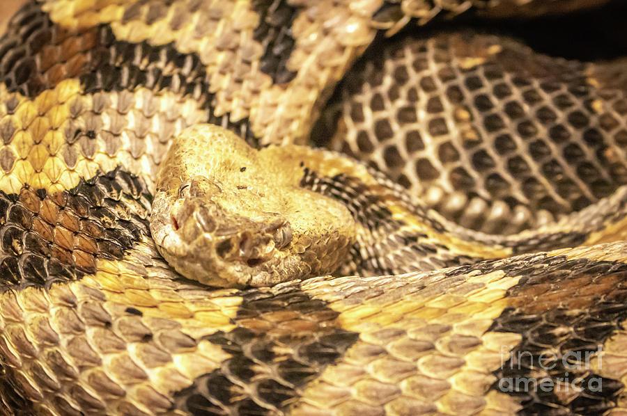 Canebrake Rattlesnake Coiled Pretty Photograph