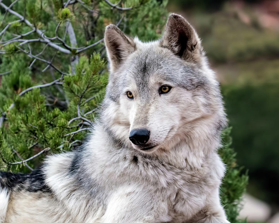 Canis Lupus Photograph - Timber Wolf by Dawn Key
