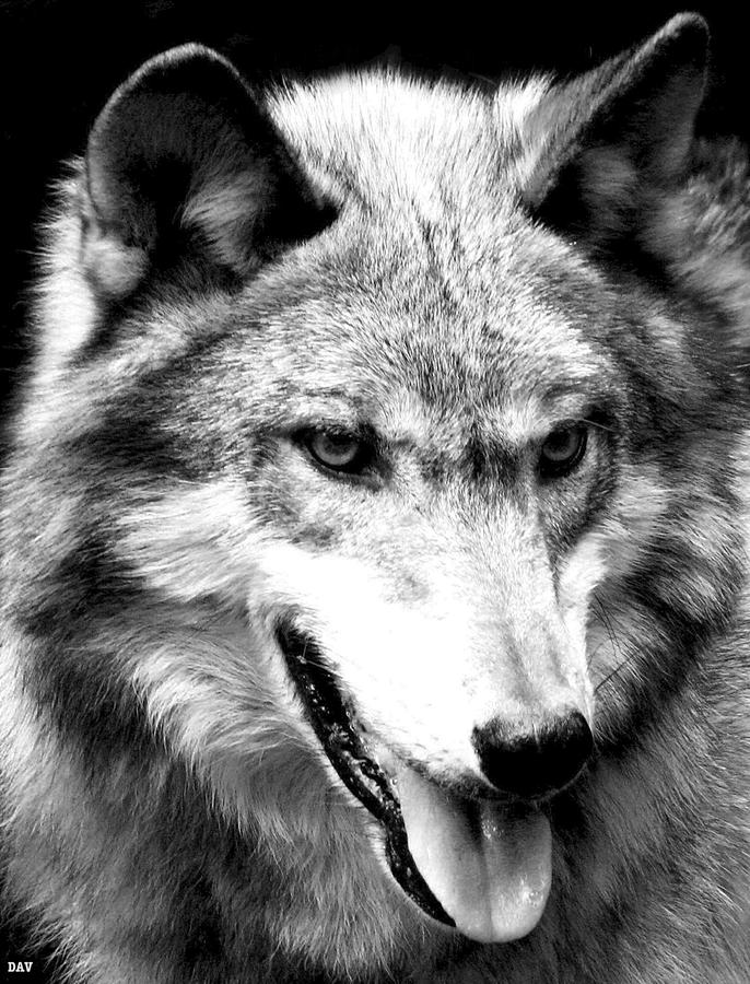 Timber Wolf Photograph - Timber Wolf by Debra     Vatalaro