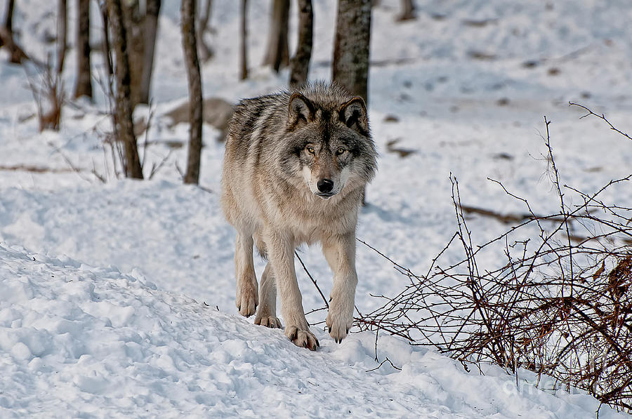 Timber Wolf In Snow Photograph by Michael Cummings