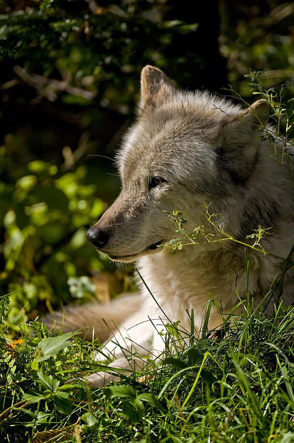 Michael Cummings Photograph - Timber Wolf Portrait by Michael Cummings