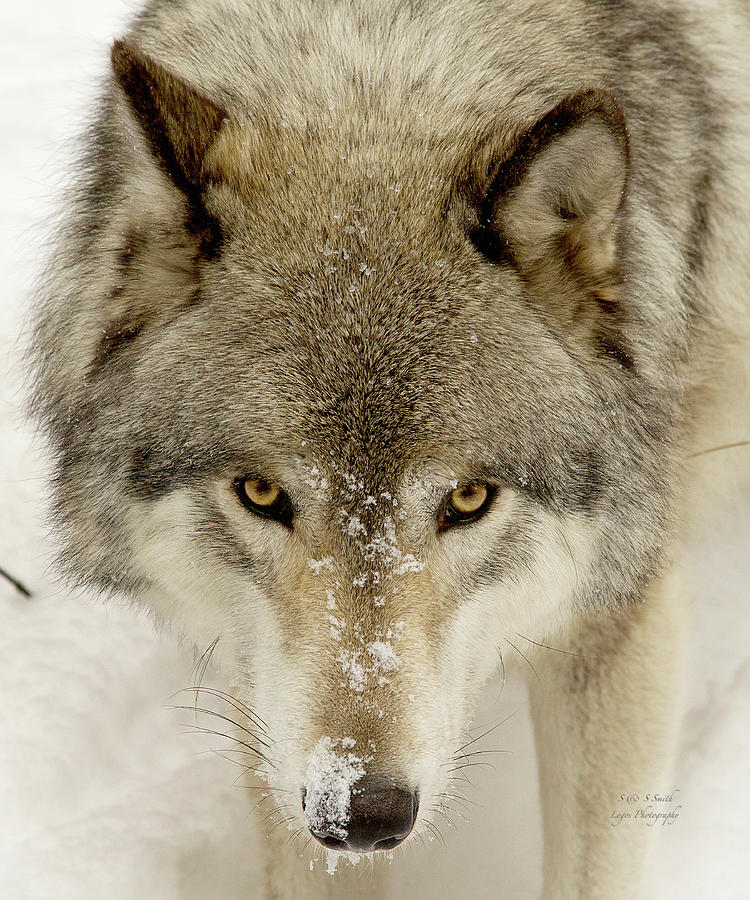 Timber Wolf portrait by Steve and Sharon Smith